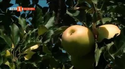 Златна ябълка в градина