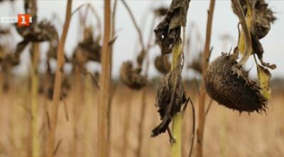 Заплаха за реколтата в Добруджа заради сушата