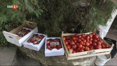Българските сортове домати във Варненско