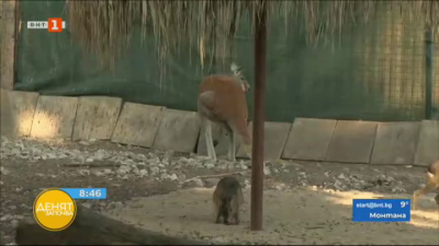 Риждивото кенгуру в софийския зоопарк е в добро здраве и успешно се приспособява към съседите си