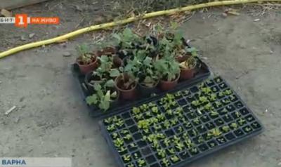 Отглеждане на домашни зеленчуци в града