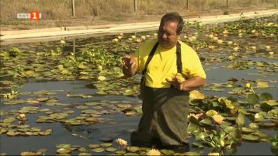Фермерът Дойчин  Владимиров и единствената ферма за водни лилии на Балканския полуостров