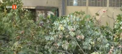 Варненци недоволни от сеч на стари дървета