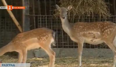 Търсят се имена за двете еленчета, които се родиха в разградския зоопарк