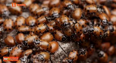 Нашествие на буболечки през есента