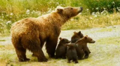 Застрашените кафяви мечки у нас