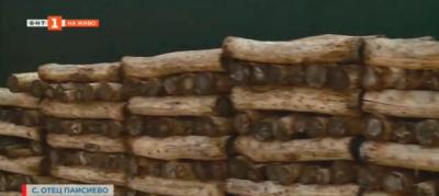 Къде и как се отглежда японската гъба шийтаке у нас