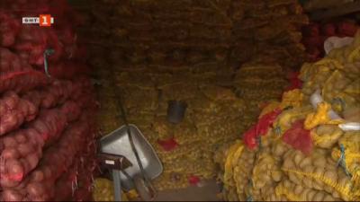 Защо хиляди тонове картофи стоят неприбрани по полетата в Самоковско