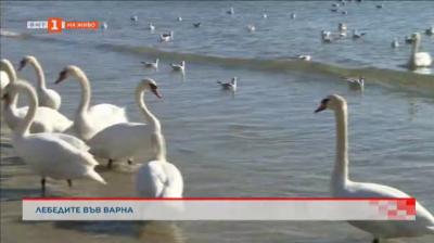 Лебедите отново долетяха във Варна