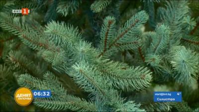 Фабриката за елхи в Раковски работи на пълни обороти