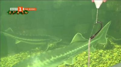 Защо изчезват есетровите риби от река Дунав?