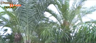 Къде зимуват палмите на Русе