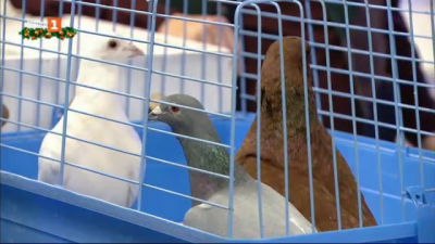 Зооприятели: всичко за спортните и декоративните гълъби