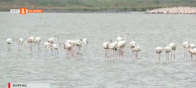 Розовото фламинго отново е у нас