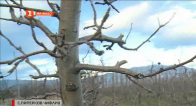 Започна подрязването на овощните дръвчета