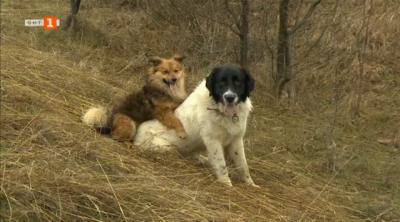 Как се отглежда българско овчарско куче