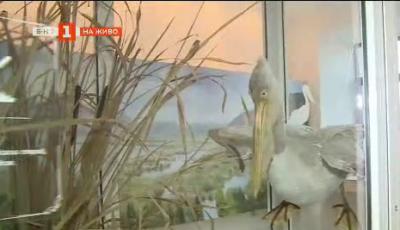 """В резервата """"Сребърна първите двойки къдроглави пеликани вече са се завърнали. Какви са им навиците?"""