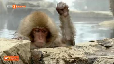 Джигокудани - паркът на снежните маймуни