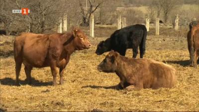 История за щастливи крави и техния недотам щастлив стопанин