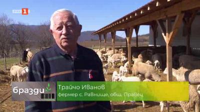 Как се отглеждат овце по биологичен начин