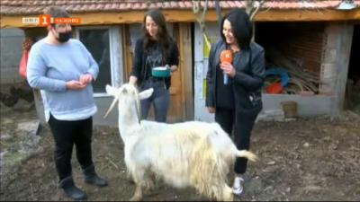 Как и къде спасиха една стара коза да не стане храна в приют за животни