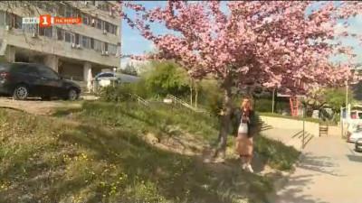 Цъфнаха японските вишни в Благоевград