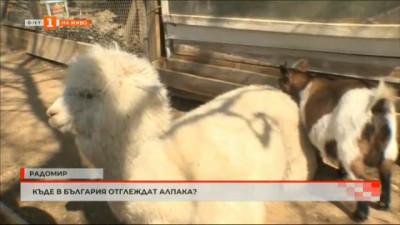 Къде в България отглеждат алпака?