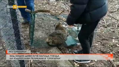 Вид хищно диво куче напада гнезда на къдроглави пеликани в Сребърна