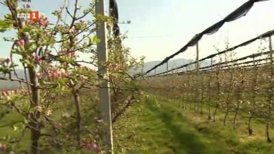 Интензивна ябълкова градина и цех за преработка на ябълки в Кюстендилско