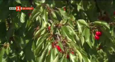 Започва кампанията по изкупуване на череши в кюстендилско
