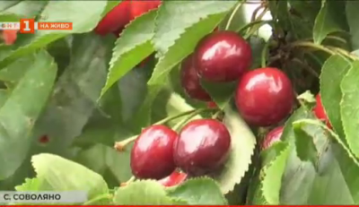 Тонове череши може да останат по дърветата в кюстендилските градини, защото няма берачи
