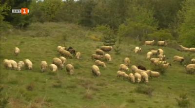 Стадо от 250 овце и прекрасни млечни продукти