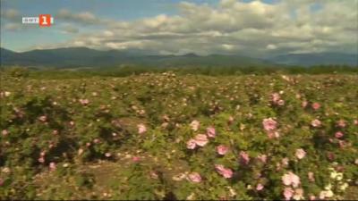 Златният розов цвят остава неприбран из Розовата долина - причините