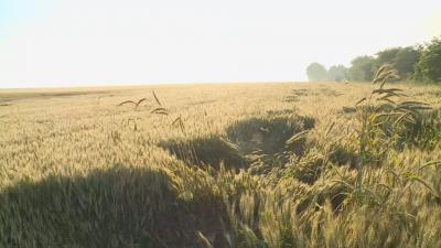 Житната реколта е пред провал заради дъждовете в Русенско