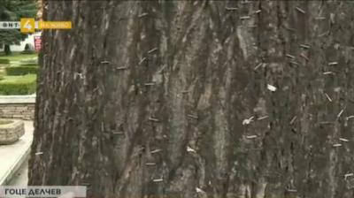 Унищожени дървета заради закачане на рекламни материали по тях