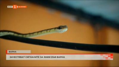 Зачестяват сигналите за змии във Варна