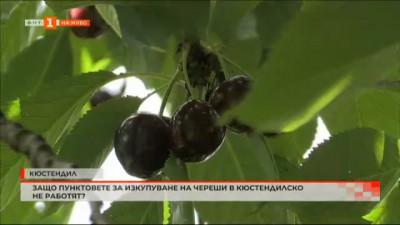 Защо пунктовете за изкупуване на череши в Кюстендилско не работят?
