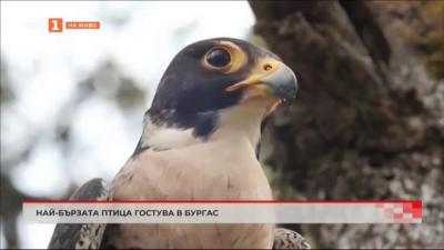 Най-бързата птица на планетата гостува в Бургас
