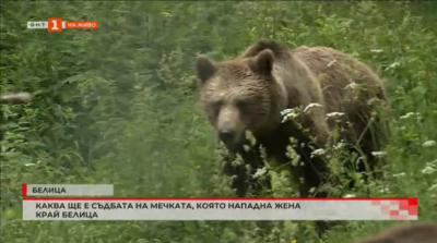 Има разрешение за отстрел на мечката, нападнала жена в Белица