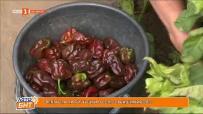 Ферма за люти чушки в село Страшимирово