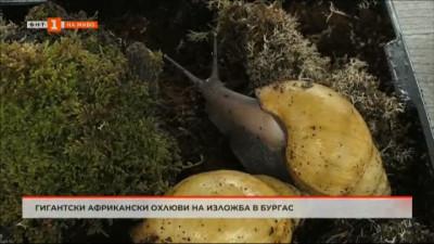 Гигантски африкански охлюви могат да бъдат видяни в изложба в Бургас