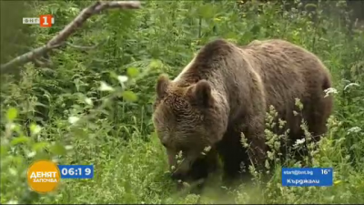 Обстановката в Белица се нормализира след инцидента с жената, нападната от мечка