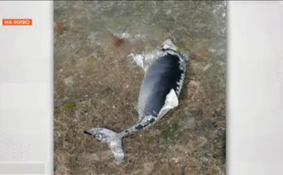 Кои са рисковете за живота на делфините?