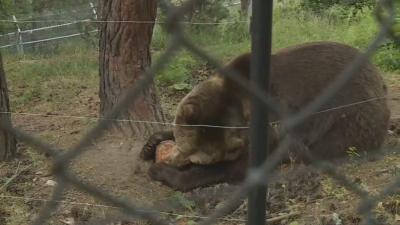Ледени близалки за обитателите на Парка за танцуващи мечки в Белица