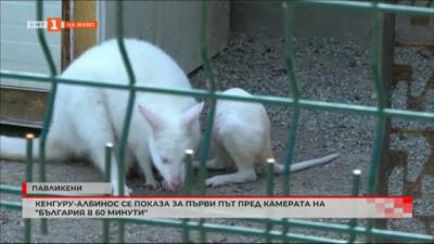 Бебе кенгуру албинос е атракцията в зоопарка в Павликени