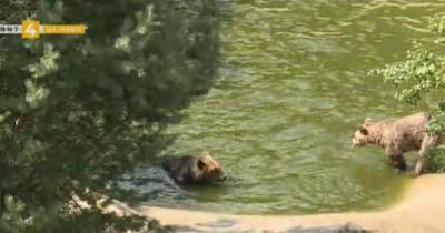 Как мечките в Белица се подготвят за зимния си сън