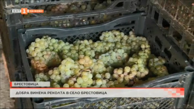 Добра винена реколта в село Брестовица