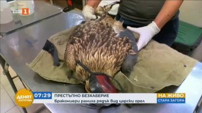 Бракониери раниха рядък вид царски орел