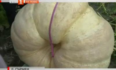 500-килограмова тиква