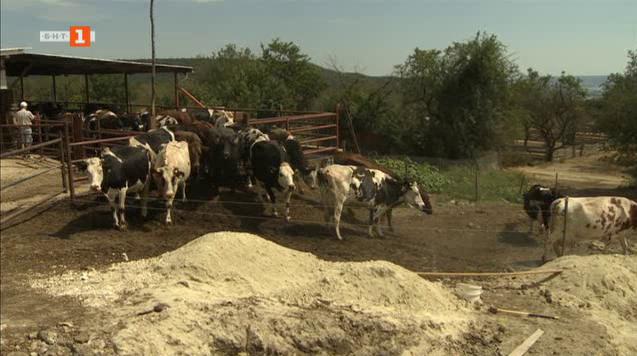 Изчезналото червено българско говедо
